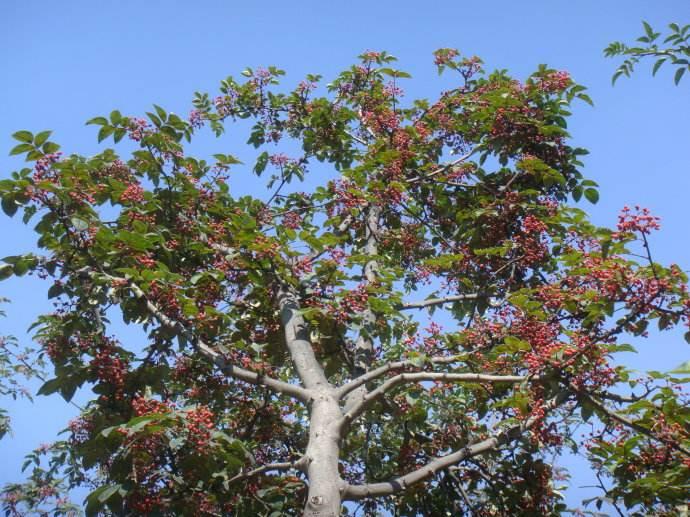 满坡花椒树 结满幸福果