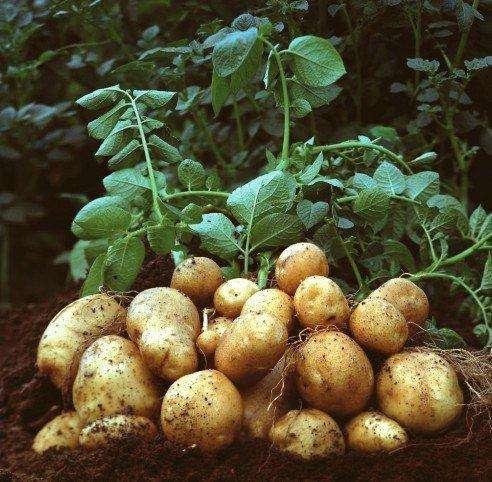 解析优质土豆科学增产窍门