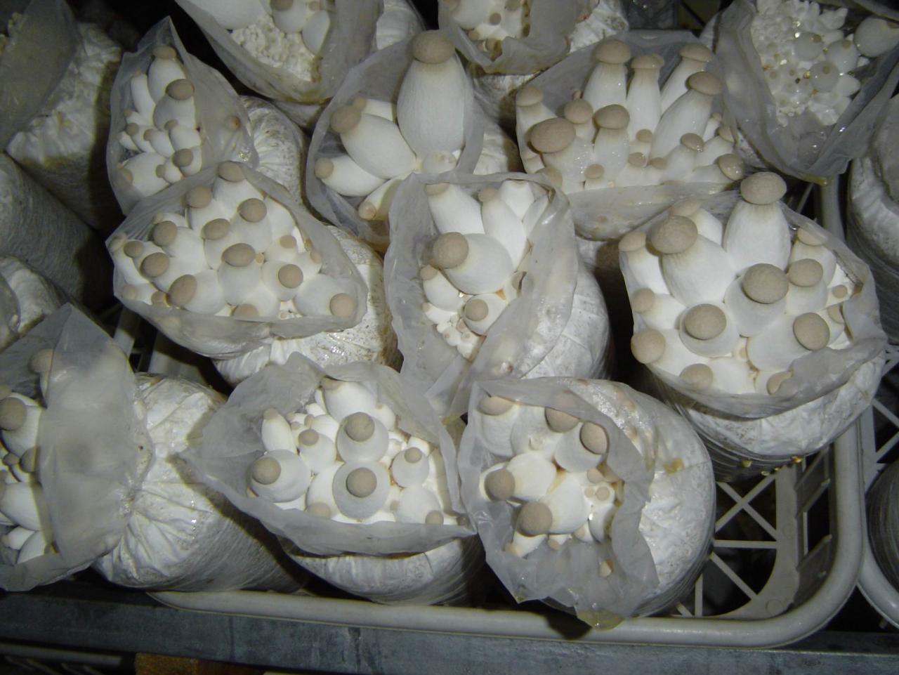 杏鲍菇生产示范案例