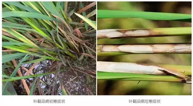 水稻病虫害图谱