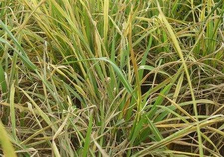 水稻早衰这样防,简单高效又高产