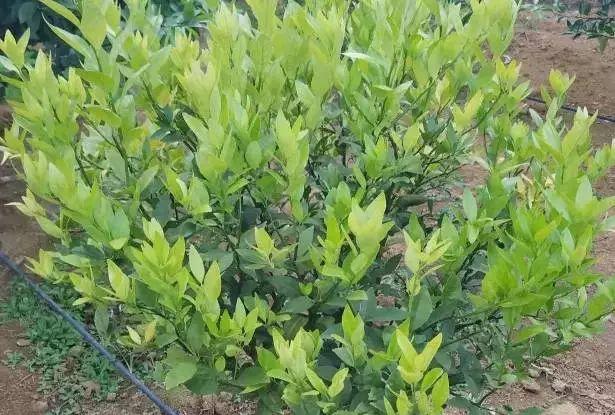 柑橘缺氮的主要原因:土壤保水保肥差,易流失
