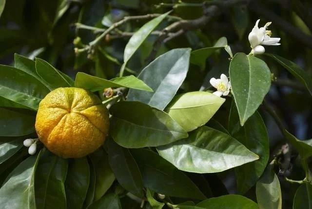 柑橘3月核心管理技术