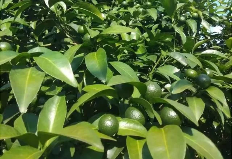 柑橘什么时候放秋梢合适?果树不出秋梢咋办?